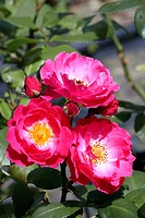 Shrub Rose Rosa ´Bordure Magenta´.