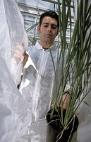 Transgenic rice research. Researcher experimenting on transgenic rice being cultivated in a greenhouse. He is placing the rice plant in a mesh cover b...