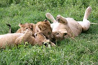 African lions. African lioness Panthera leo resting with her cubs. African lions are predatory carnivores that live in the savannah grasslands of sub_...