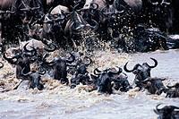 Masai Mara, Gnus am Wasser und im Wasser
