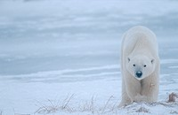 Eisbaer, polar bear, Ursus maritimus