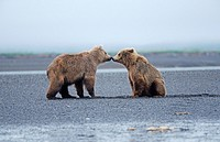 Zwei junge Braunbaeren beschnuppern sich, two young brown bears sniffing at each other, Ursus arctos