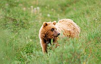 Braunbaer, brown bear, Ursus arctos