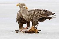 Zwei Seeadler lat. Haliaeetus albicilla am Luderplatz mit einem Fuchs, Winter, auf dem Eis eines Sees, Wappenvogel, Adler, Greifvogel, engl. white_tai...