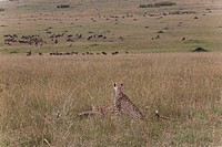 Two Cheetahs Acinonyx jubatus lying on a landscape, Masai Mara National Reserve, Kenya