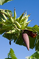 Dominican Republic _ Centre _ The Cibao Valley _ Banana
