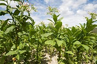 Dominican Republic _ Centre _ The Cibao _ Tobacco Valley _ Plantation _ Tobacco flower
