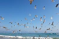gabbiani sulla costa dell´oceano indiano, oman, asia