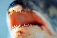 Close up of the mouth of a fish