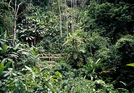 Lush foliage in rainforest with bamboo boardwalk