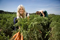Man and woman harvesting carrots in field