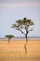 Two vultures perching in a tree