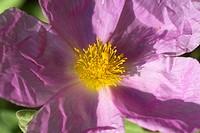 Pink Rock Rose (Cistus incanus)