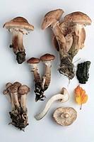 Agaric Honey or Armillaria Mellea wild edible mushrooms, close-up
