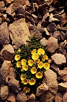 Yellow flowers growing between stones, Cabo de Gata Natural Park, Almeria province, Andalusia, spain