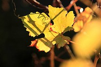 Autumn coloured vine leaf