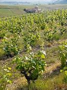 vigne, vauxrenard, beaujolais, rhone, France