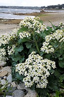 France, Brittany  Sea Kale Crambe maritima