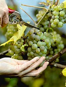 Human hands harvesting green grapes