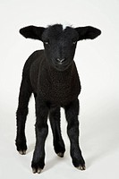 Black lamb, studio shot