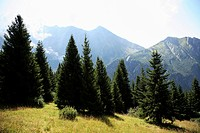 Conifers and mont blanc