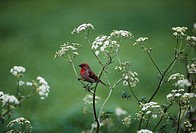 Scarlet rosefinch sitting on plant structure