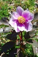 Wild Peony, Paeonia mascula