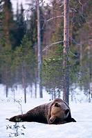 A slumbering bear Kuhmo Finland