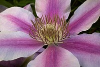 Close_up of pink flower