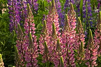 Lupine flowers in a garden