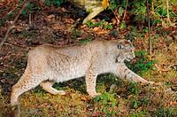 lynx _ walking / Lynx lynx