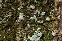 bark of a tree _ covered with moss and lichen