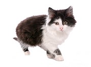 domestic cat _ kitten walking _ cut out