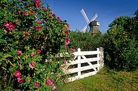 Dog roses and windmill under blue sky, Amrum island, North Friesland, Schleswig_Holstein, Germany