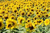 Sunflower field in the sunlight