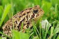 American toad Bufo americanus in lawn setting