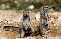 Erhörnchen