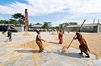 Rice harvesting, women at work, Sylhet, Bangladesh