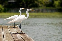 two herons wait side-by-side on dock