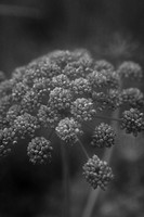 Cow parsnip close_up Sweden.