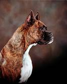 Boxer in profile