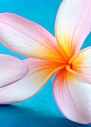Close up of Frangipani flower Plumeria
