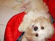 Pet, Dog, Lhasa Apso, São Paulo, Brazil