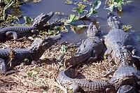 Alligators, Cajú Island, Piauí, Brazil