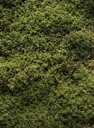 Moss, close up, full frame