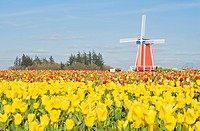 Windmill and Tulip Festival, Wooden Shoe Tulip Farm, Woodburn, Oregon, USA