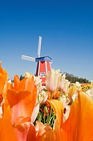 Windmill at Wooden Shoe Tulip Farm, Willamette Valley, Woodburn, Oregon, USA
