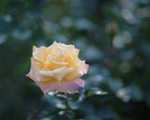 Close up of single rose, Tokyo prefecture, Japan