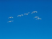 Swans flying in a clear blue sky