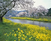Stream surrounded by blossoming cherry trees and rapeseed flowers, Kinomoto_Machi, Shiga Prefecture, Japan